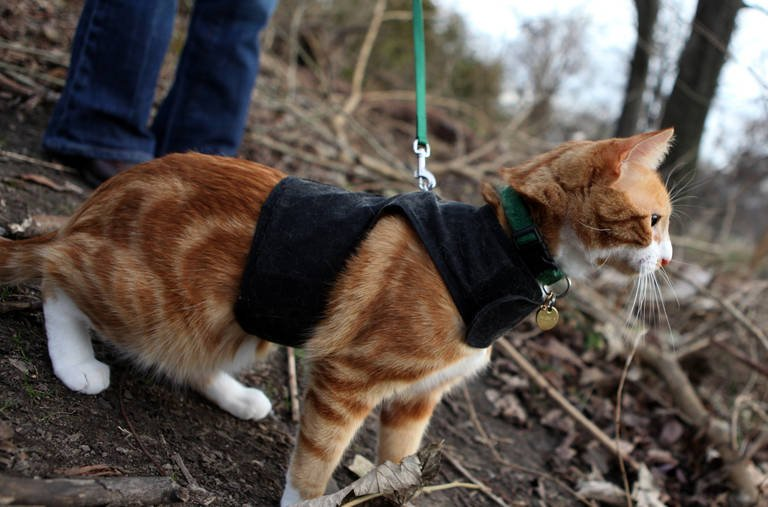 cat in harness