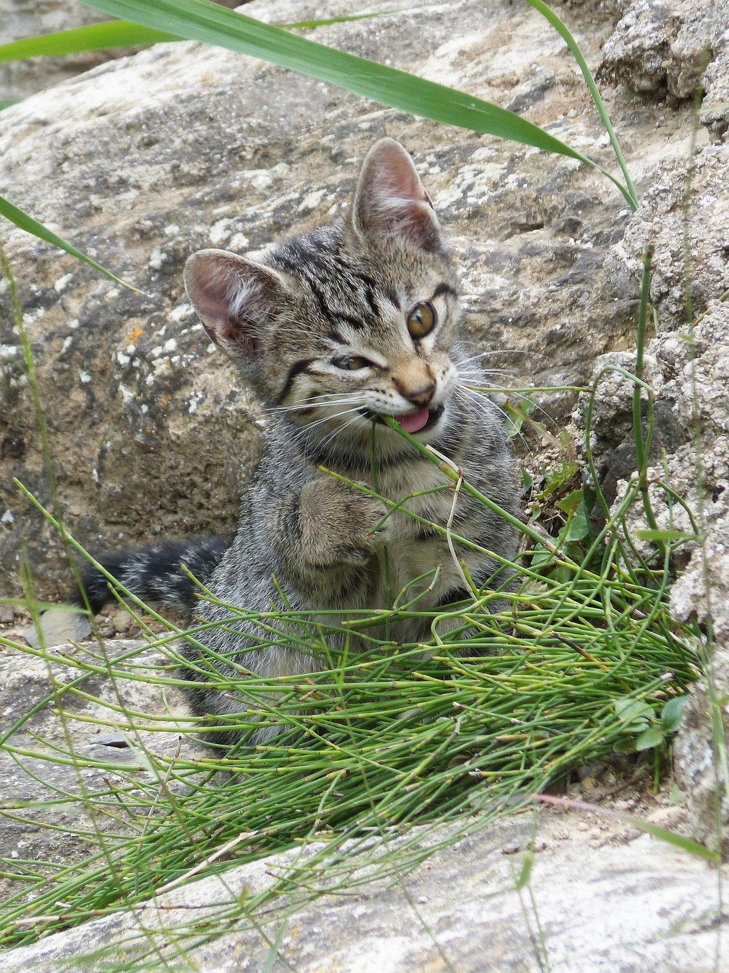 cat eating catnip