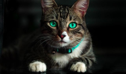 8 Best Cat Collar With Bell – Buying Guide and Review